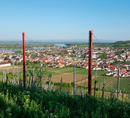 Steilhang Niersteiner Ölberg mit Blick auf den Rhein